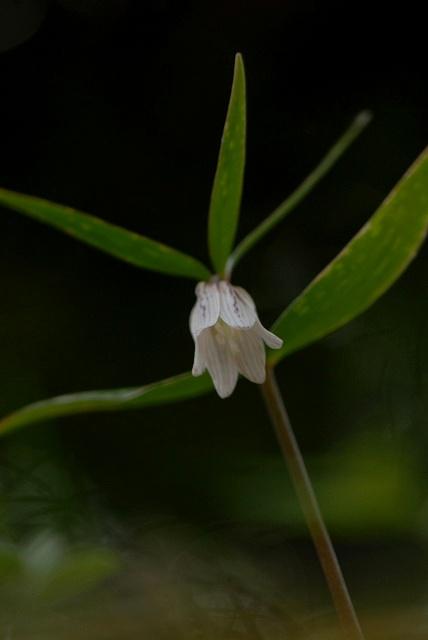 ホソバナコバイモ2
