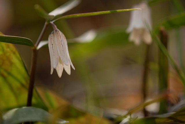 ホソバナコバイモ1-2