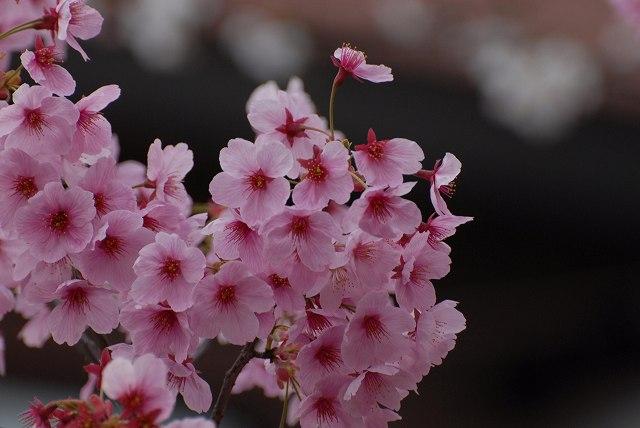 ヒカン桜1