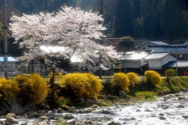富村の桜と花1