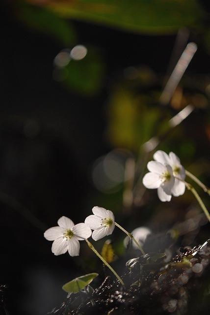 ミヤマカタバミ3