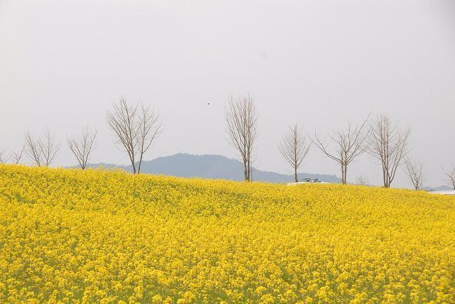 奈義の菜の花6