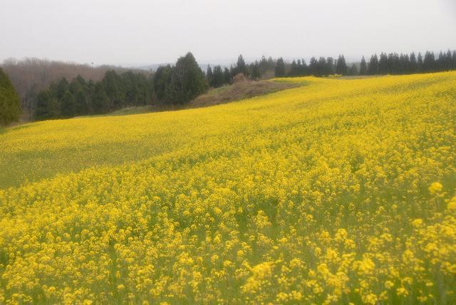 奈義の菜の花7