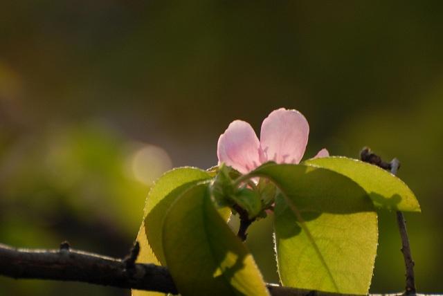 カリンの花1