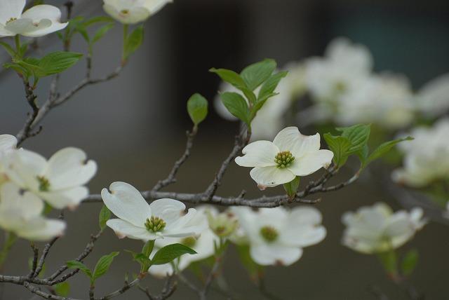 ハナミズキ(白)1
