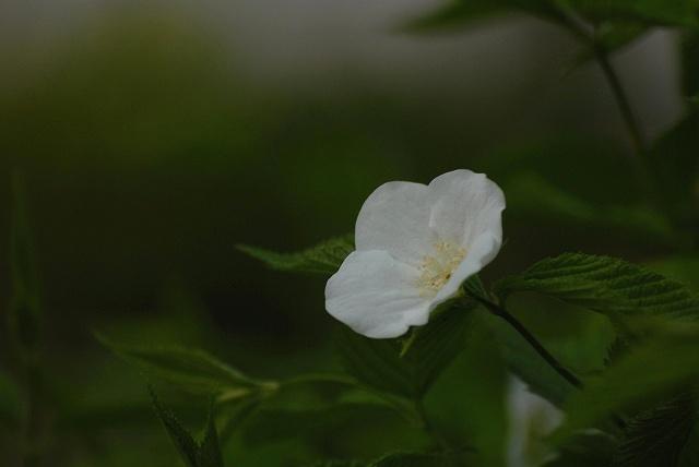 ヤマブキ白1