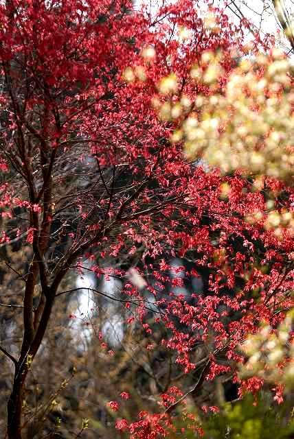 椛と日向水木1