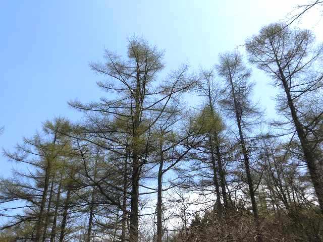 カラマツ林1