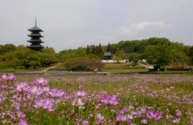 国分寺のレンゲ畑3