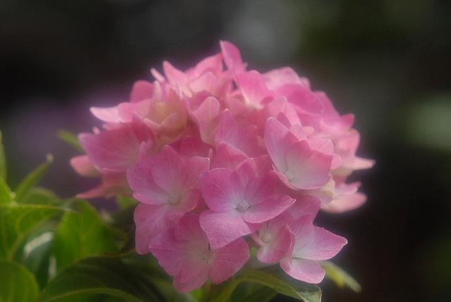 ハイドランジア(紫陽花)ピンク