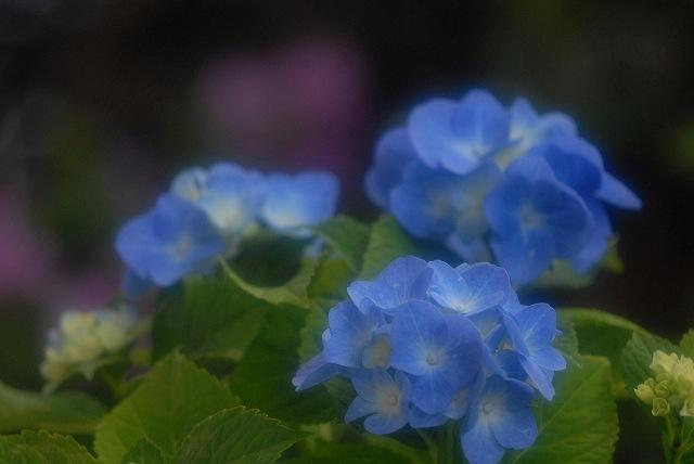 ハイドランジア(紫陽花)ブルー