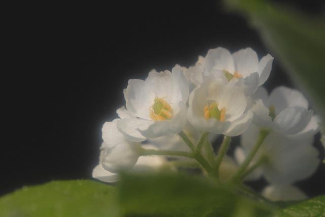 サンカヨウ9-2