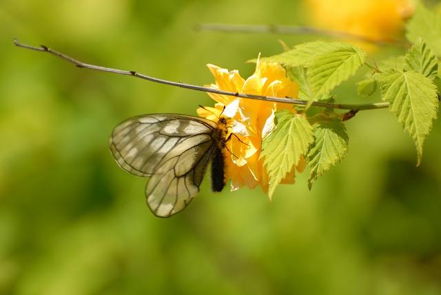 うすばしろ蝶
