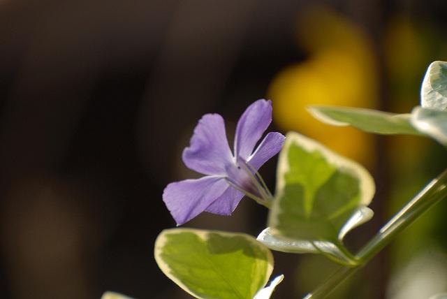 斑入りニチニチ草1