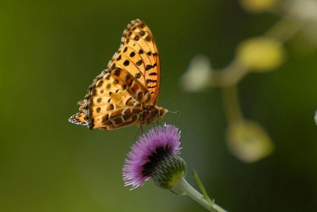 アザミとヒョウモン蝶1