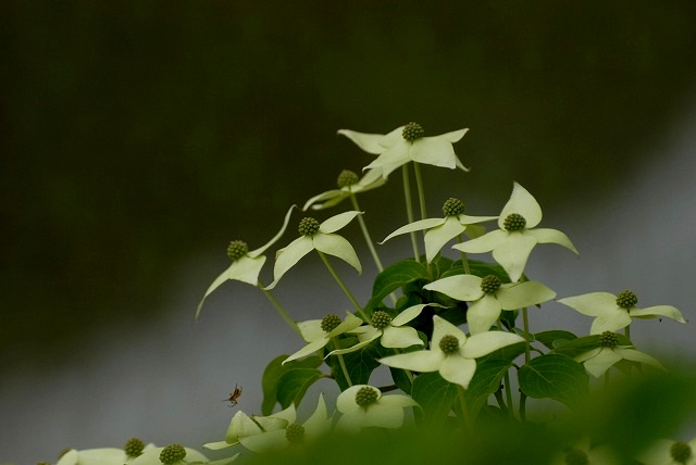 ヤマボウシ(白)2