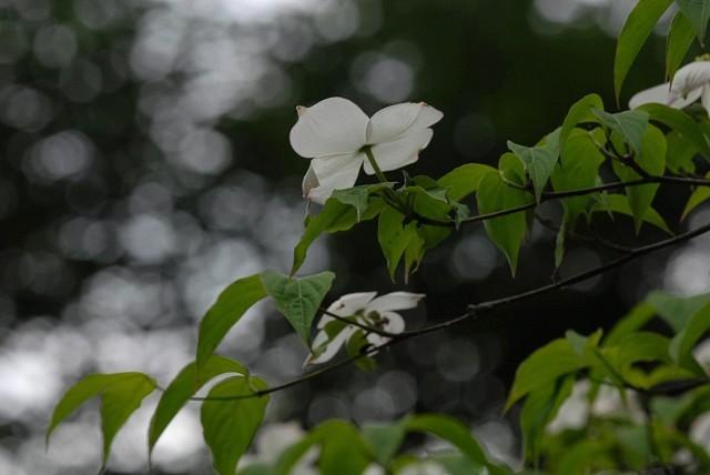 ヤマボウシとハナミズキを合わせた花