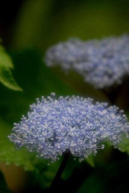 小紫陽花5