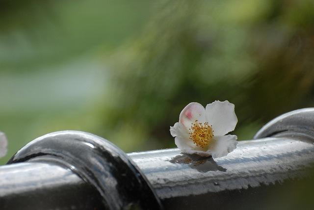 夏椿(夜明け前)5