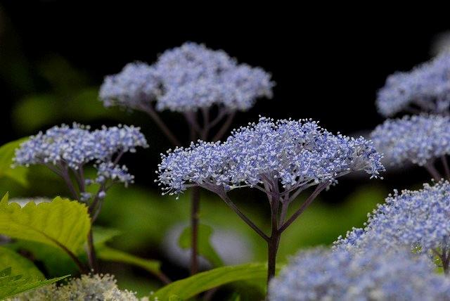 小紫陽花2
