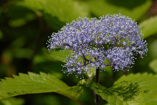 小紫陽花3