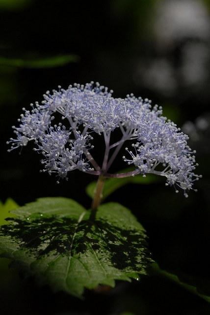 小紫陽花4