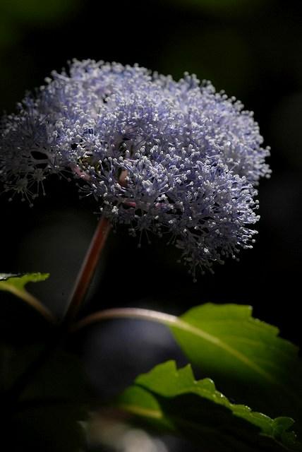 小紫陽花7