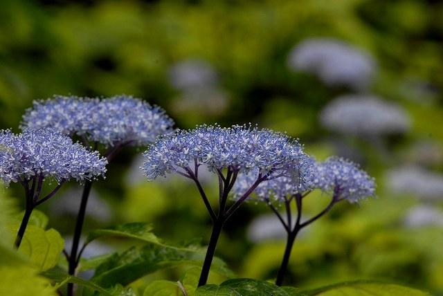 小紫陽花8