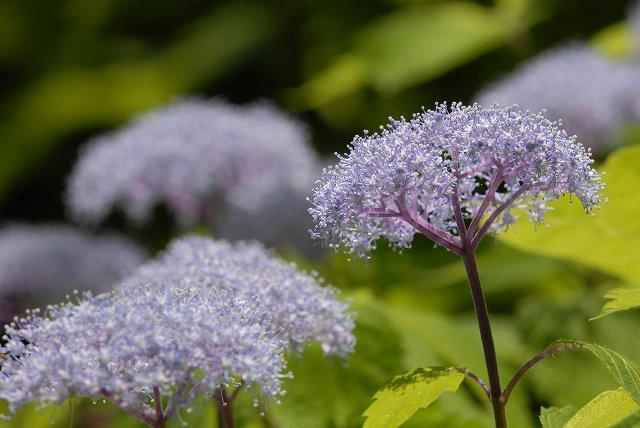 小紫陽花9