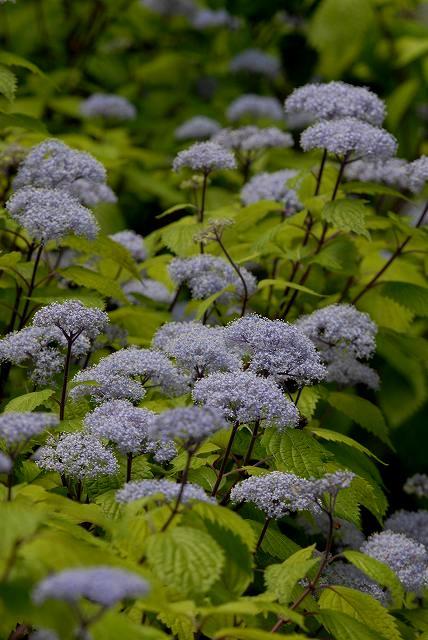 小紫陽花10
