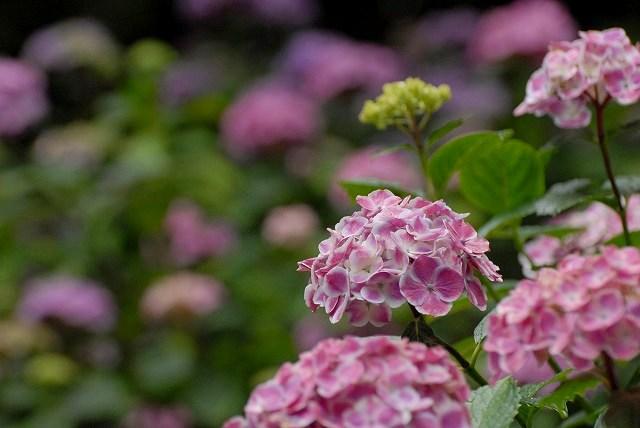 紫陽花11