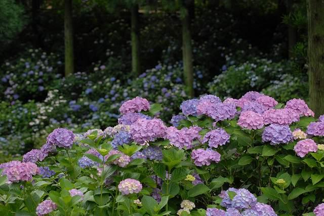 三景園の紫陽花1