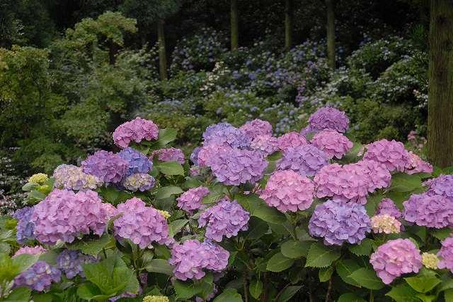 三景園の紫陽花2