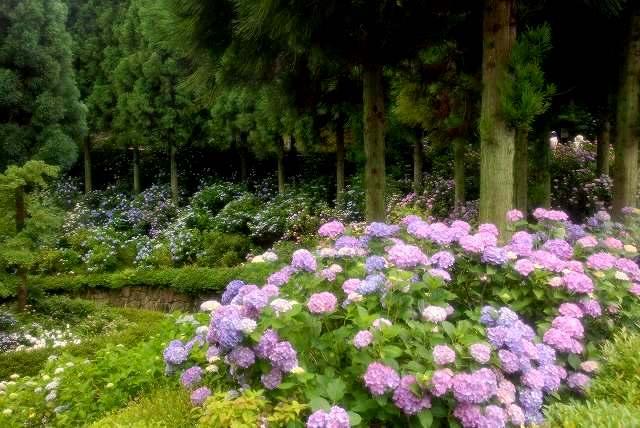 三景園の紫陽花3