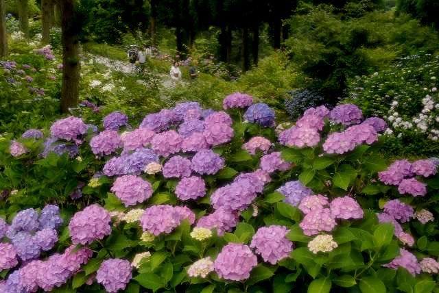 三景園の紫陽花4