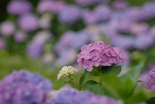 三景園の紫陽花6