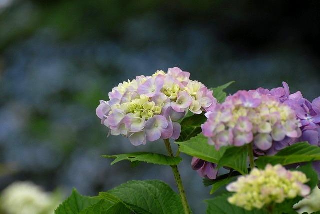 三景園の紫陽花8