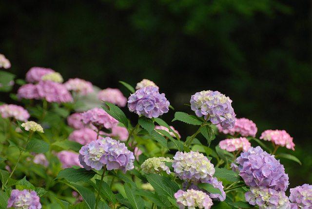 三景園の紫陽花9