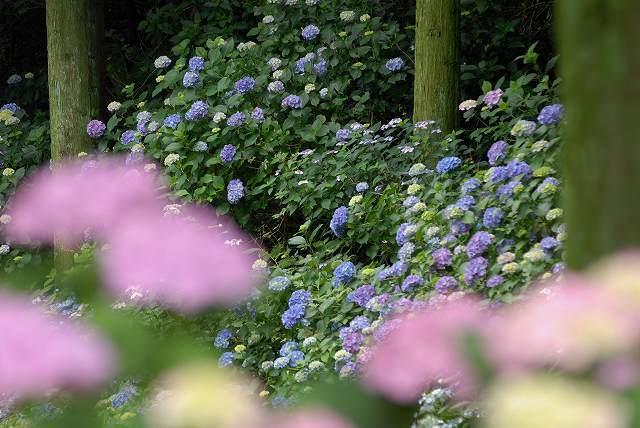 三景園の紫陽花10