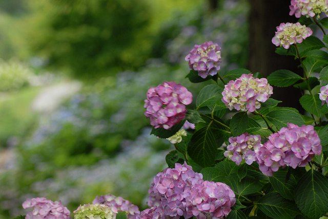 三景園の紫陽花12