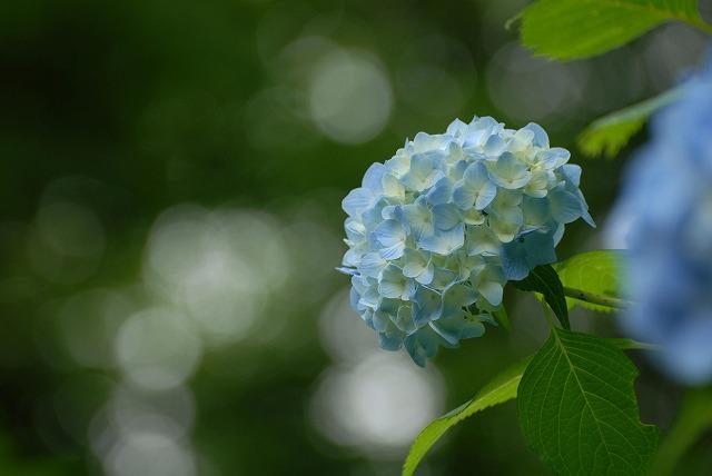 三景園の紫陽花14