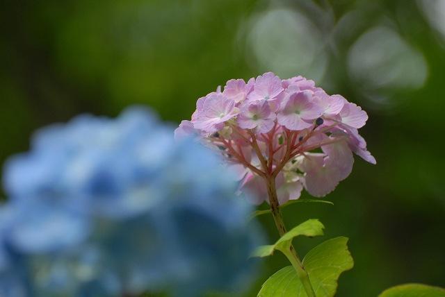 三景園の紫陽花15