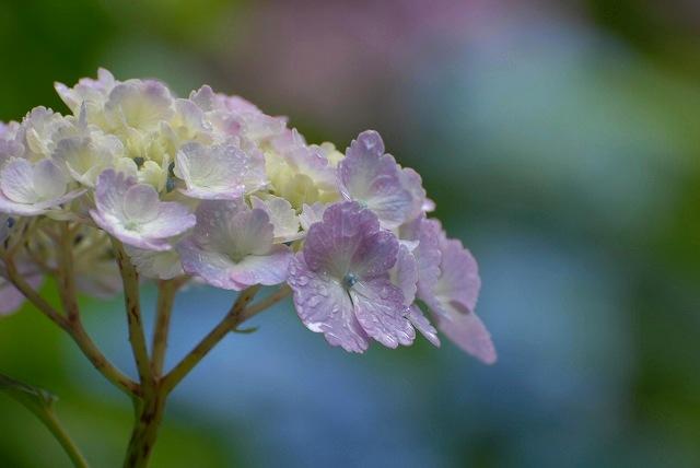 三景園の紫陽花16