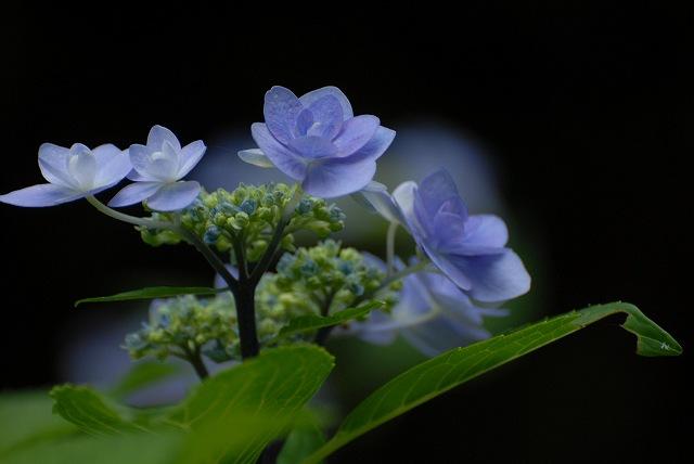 三景園の紫陽花17