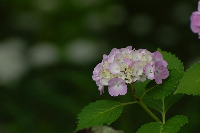 三景園の紫陽花19