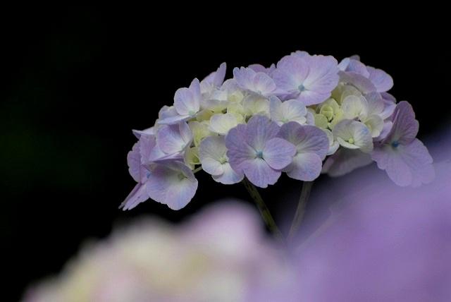 三景園の紫陽花20