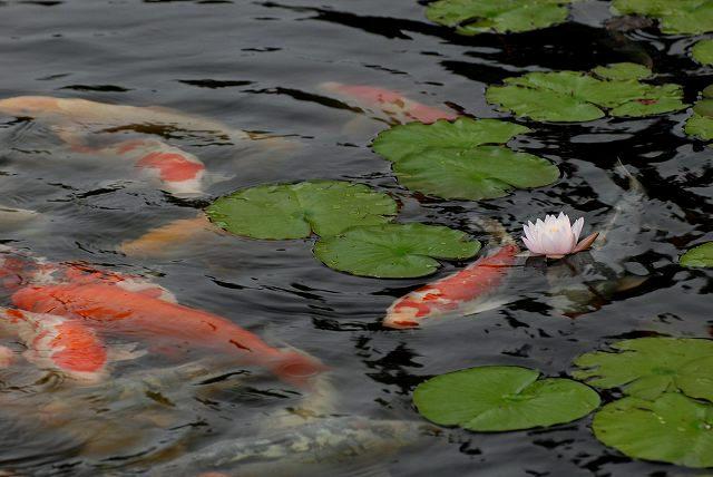 三景園の鯉1