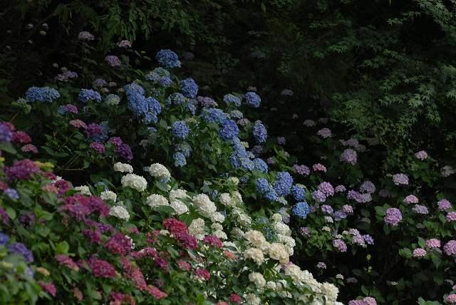 三景園の紫陽花21