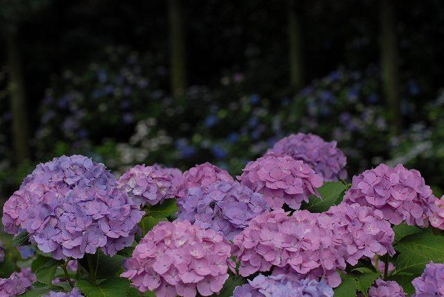 三景園の紫陽花22