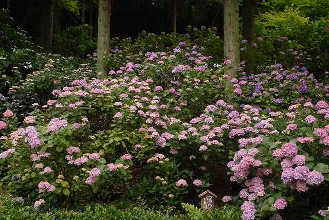三景園の紫陽花24